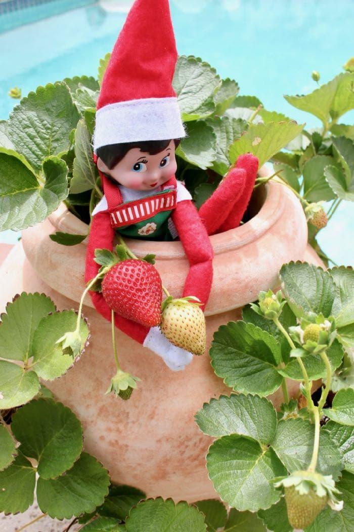 Elf on the Shelf Goes Vegan - Elf Picking Strawberries